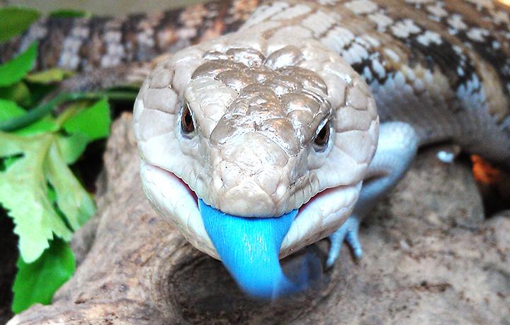 La lucertola chiazzata dalla lingua blu (Tiliqua nigrolutea Quoy & Gaimard)