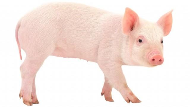 pig-full-body.jpg.adapt.945.1