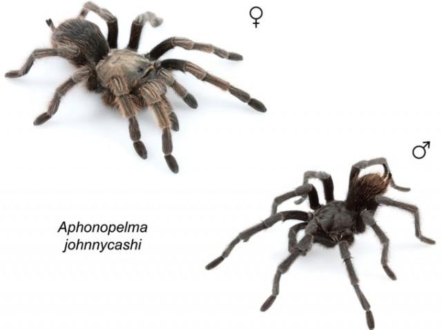 L'Aphonopelma johnnycashi