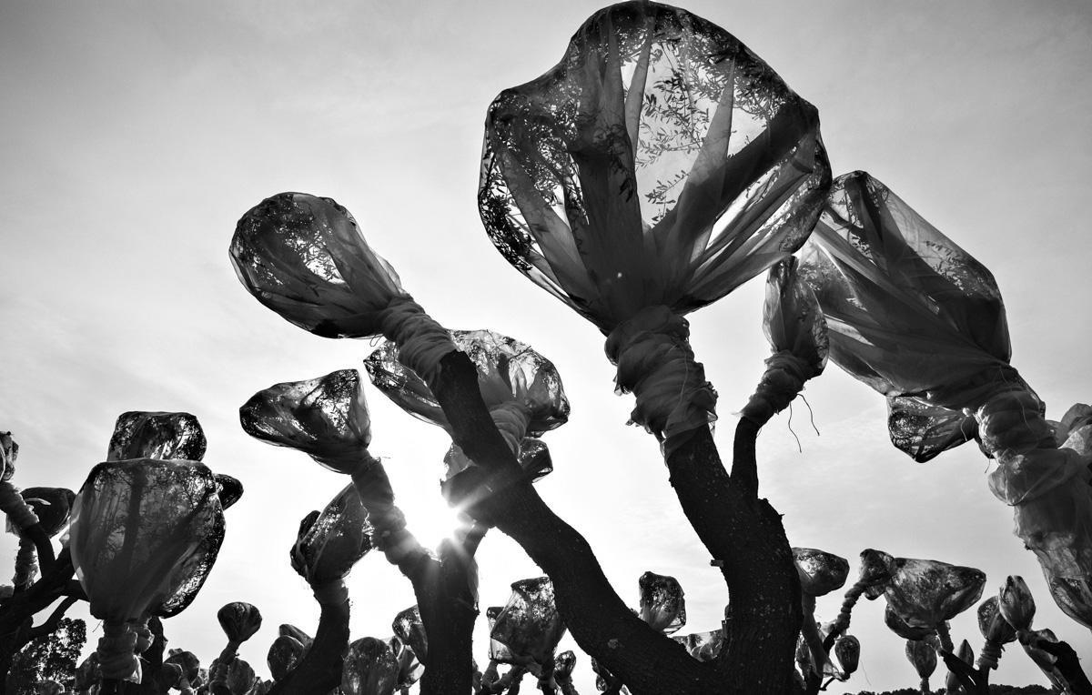 Gli ulivi salentini nelle fotografie di Ulderico Tramacere